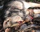Открытое письмо казаков КСД Сич о жестоком обращении с животными